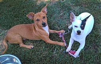 Dachshund/Chihuahua Mix Dog for adoption in Southeastern, Pennsylvania - Snickers and Spot