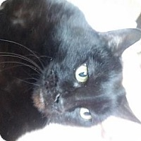 Adopt A Pet :: JAPEDO - DECLAWED CHAP - Rochester, NY
