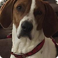 Adopt A Pet :: Calvin (Reduced Fee!) - Staunton, VA