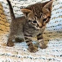 Adopt A Pet :: Magneto - Winston-Salem, NC