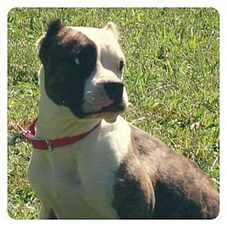 Boxer/American Staffordshire Terrier Mix Dog for adoption in Louisville, Kentucky - Clover