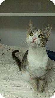 Domestic Shorthair Cat for adoption in Richboro, Pennsylvania - Jessica Alba