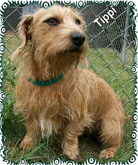 Tippi | Adopted Dog | Ozark, AL | Wirehaired Fox Terrier ...