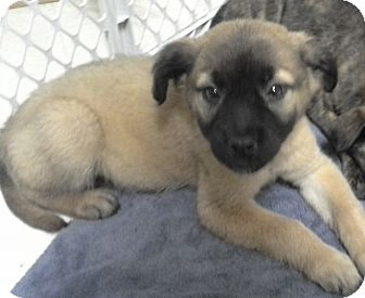 Shepherd (Unknown Type) Mix Puppy for adoption in Gainesville, Florida - Lakita
