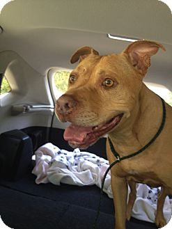 Rhodesian Ridgeback/American Staffordshire Terrier Mix Dog for adoption in Valley Village, California - BUGSY
