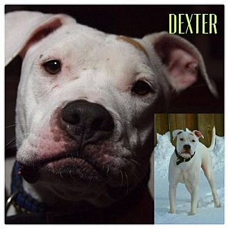 American Pit Bull Terrier/American Staffordshire Terrier Mix Dog for adoption in Garden City, Michigan - Dexter