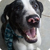 Great Pyrenees/Pit Bull Terrier Mix Dog for adoption in LOS ANGELES, California - PATCHES (Courtesy Post)