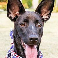 Shepherd (Unknown Type)/Bernese Mountain Dog Mix Dog for adoption in San Francisco, California - Rigo