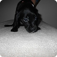 Adopt A Pet :: Wilkes Puppy #3 -Adopted! - Kannapolis, NC