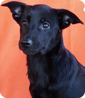 Shepherd (Unknown Type) Mix Puppy for adoption in East Sparta, Ohio - Magic