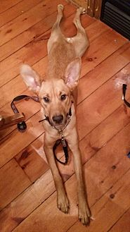 Labrador Retriever/Shepherd (Unknown Type) Mix Dog for adoption in Woodstock, Ontario - Sara