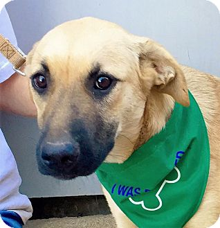 German Shepherd Dog/Labrador Retriever Mix Dog for adoption in Brattleboro, Vermont - Kelly ~ ADOPTED!