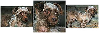 Silky Terrier Dog for adoption in Forked River, New Jersey - Dusty