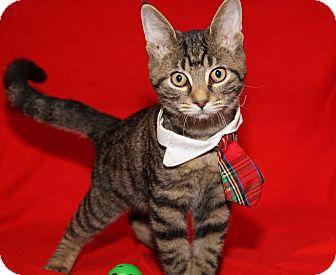 Domestic Shorthair Kitten for adoption in Marietta, Ohio - Quincy (Neutered)