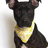 Adopt A Pet :: Cheyenne - Baton Rouge, LA