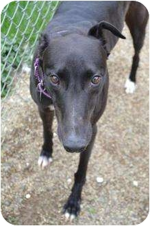 Greyhound Dog for adoption in Chagrin Falls, Ohio - Comic (Mulberry Comic)