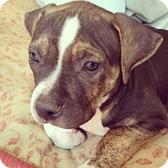 American Pit Bull Terrier Mix Puppy for adoption in Mesa, Arizona - Sharkie