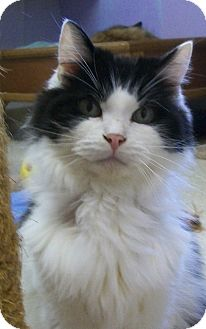 Domestic Longhair Cat for adoption in Grants Pass, Oregon - Trigger