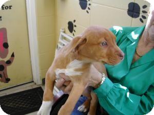 American Bulldog/Labrador Retriever Mix Puppy for adoption in Crawfordville, Florida - Gertrude