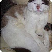 Domestic Mediumhair Cat for adoption in Shoreline, Washington - Cat Fosters Needed