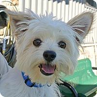 Adopt A Pet :: Kolby - white settlment, TX