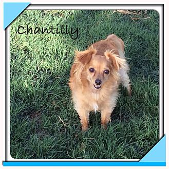 Chihuahua Mix Dog for adoption in San Antonio, Texas - Chantilly
