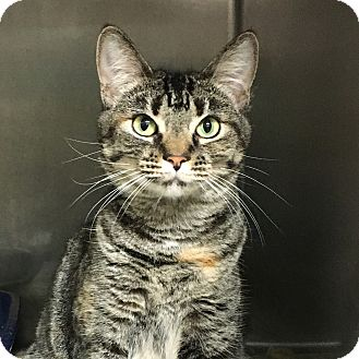 Domestic Shorthair Cat for adoption in Stockton, California - Cathy