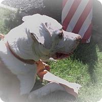Adopt A Pet :: Chance - Baden, PA