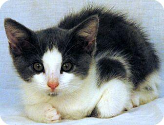 Domestic Shorthair Kitten for adoption in Newland, North Carolina - Grey Pants