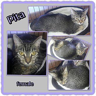 Domestic Shorthair Cat for adoption in Richmond, California - Pita