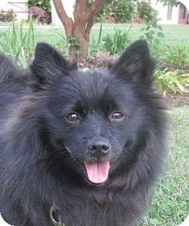 Pomeranian Dog for adoption in LaGrange, Kentucky - Frodo