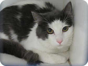 Domestic Mediumhair Cat for adoption in Long Beach, California - Bean