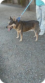 Australian Cattle Dog Dog for adoption in Phoenix, Arizona - Beefy