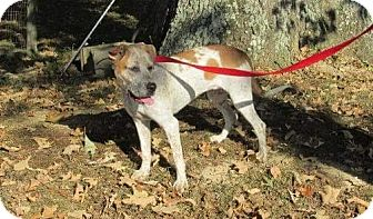Australian Cattle Dog Mix Dog for adoption in Union City, Tennessee - Hope