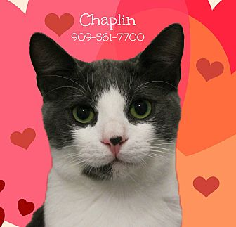 Domestic Shorthair Cat for adoption in Monrovia, California - A Young Male: CHAPLIN
