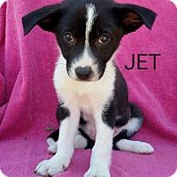 Adopt A Pet :: Jet - New Oxford, PA
