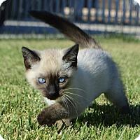 Adopt A Pet :: Tea: Chai - Palo Alto, CA