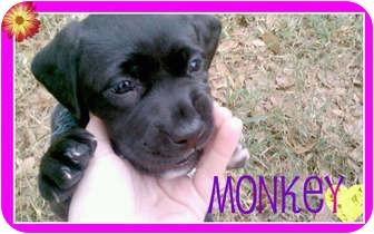 Labrador Retriever/American Pit Bull Terrier Mix Puppy for adoption in Orlando, Florida - Monkey
