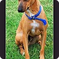 Vizsla Mix Dog for adoption in Eddy, Texas - Prince