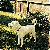 Adopt A Pet :: Hank - Kingwood, TX