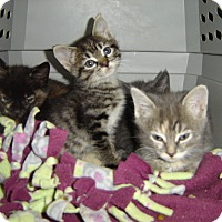 Adopt A Pet :: Stripes - Grayslake, IL