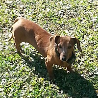 Adopt A Pet :: Dolly - Jacksonville, FL