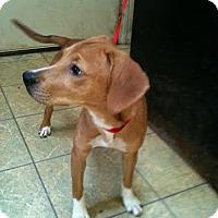Adopt A Pet :: Rose - Antioch, IL