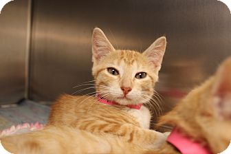 Domestic Shorthair Kitten for adoption in Dallas, Texas - Maryann