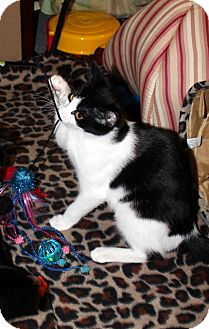 Domestic Shorthair Kitten for adoption in Millersville, Maryland - Padme