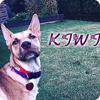Adopt A Pet :: Kiwi (fostered in Dallas TX) - Cranston, RI