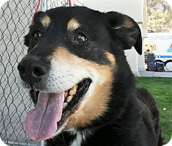 Shepherd (Unknown Type) Mix Dog for adoption in Fruit Heights, Utah - Vinny