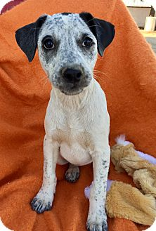 Cattle Dog Mix Puppy for adoption in Studio City, California - Daphne
