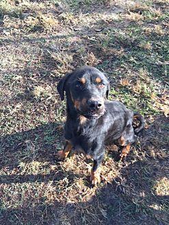 Rottweiler Dog for adoption in Baton Rouge, Louisiana - Abita