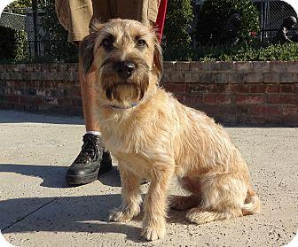 Basset Hound/Schnauzer (Miniature) Mix Dog for adoption in Lathrop, California - Cooper